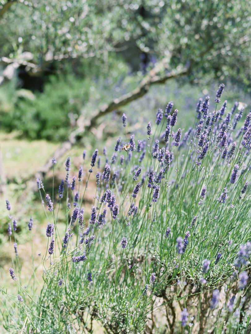 Lavendergarden Tuscany.jpg