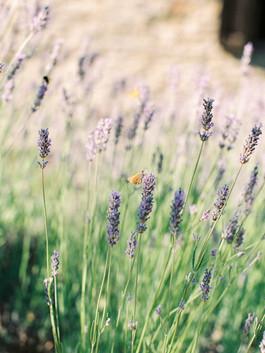 Lavender Villa Montanare.jpg