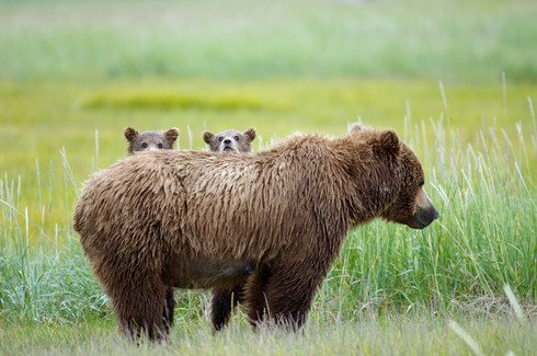 Bearly Concealed