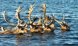 Swimming caribou