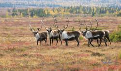 Bull Qamanirijuaq caribou