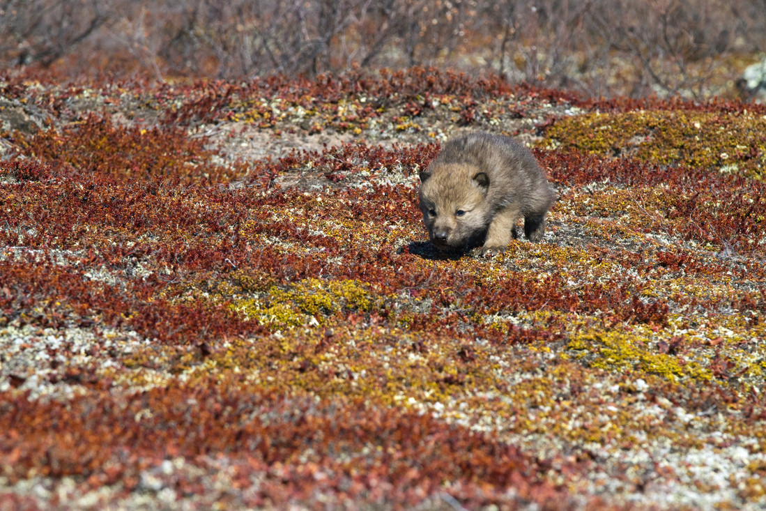 Arctic Wolf Pup.jpg