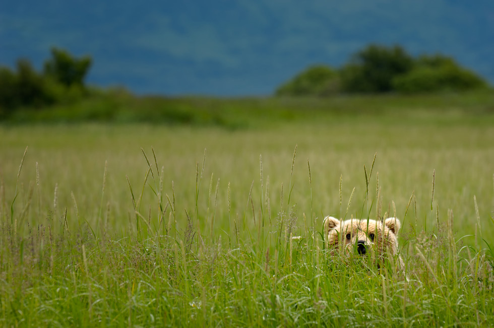 Teddy in the Tall Grass