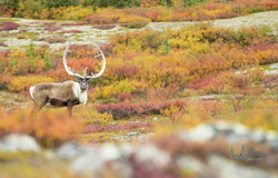 A bull caribou against the fall tundra c