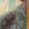 Köklenmiş fidelerin hasadı yapıldı