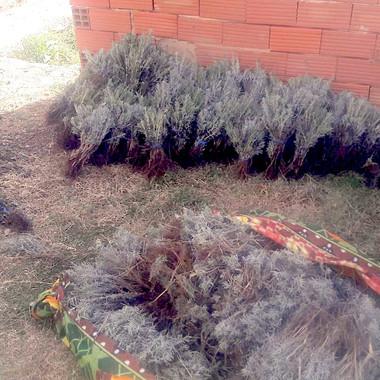 Fide hasatı ve demet hazırlığı