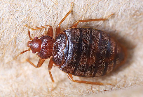 bedbugs-howserious-l.jpg