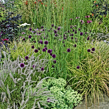 Grasses & Allium WildFlower Bed