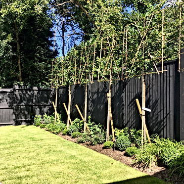 Pleached Tree Screening Sevenoaks
