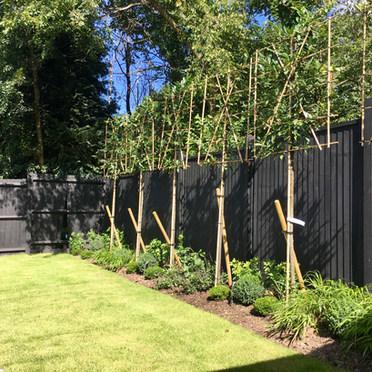 Pleached Tree Screening Sevenoaks