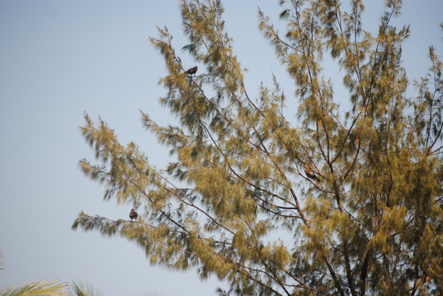 Tree of Raptors