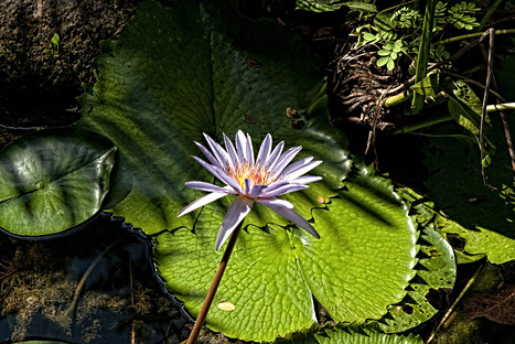 Water Lily Mexico