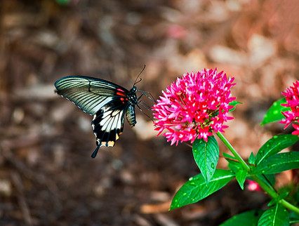 Shallow Tail Butterfly