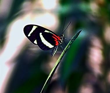 Long Wing Butterfly