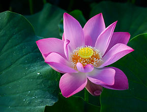 Close-up of lotus flower on the pond at