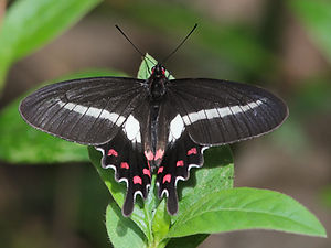 Parides proneus