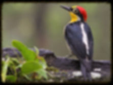 benedito-de-testa-amarela (Melanerpes flavifrons)