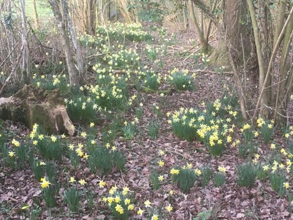 The Dainty Dymock Daffodils
