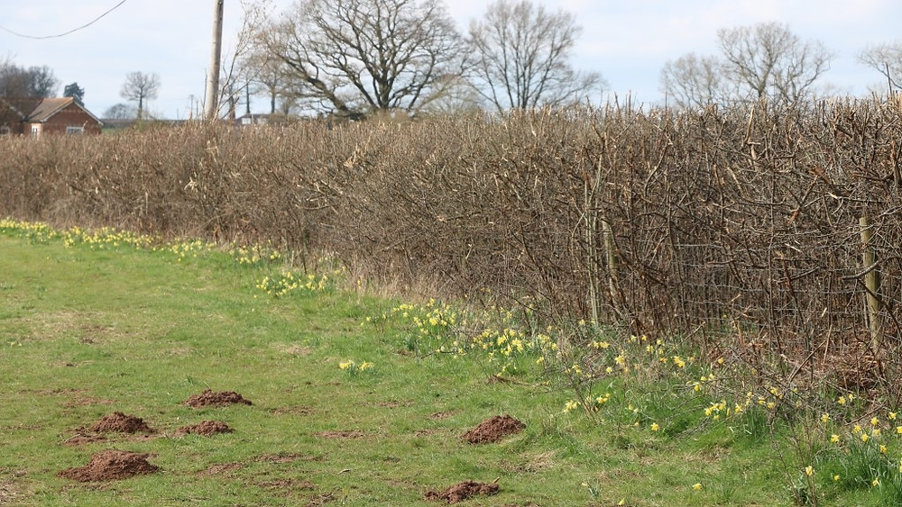 A Hedgerow with native daffodils at its feet