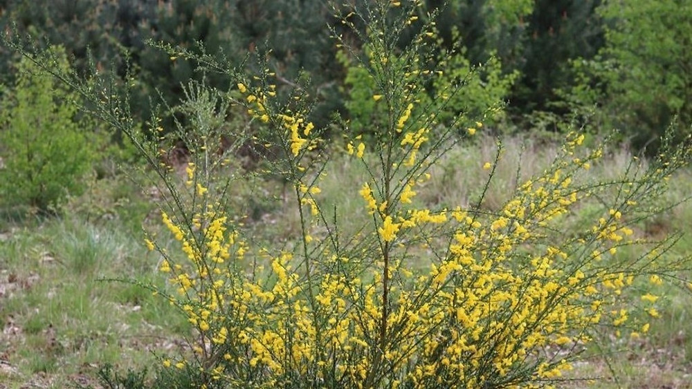 The Yellow Gorse on the heathland