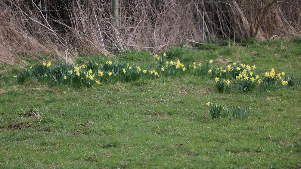 A Native Wild Daffodil Meadow