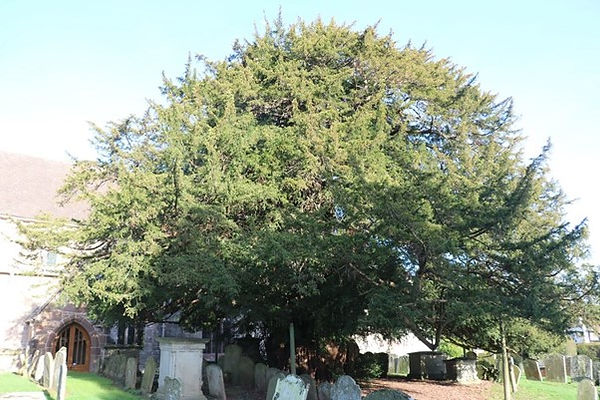 The Aged Yew Tree at Much Marcle