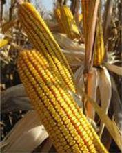 кукуруза порумбень 461 купить в молдове