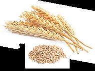 Купить семена технических и зерновых культур в Молдове от фирмы PRODCOM FIT SRL