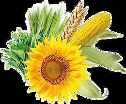Семена, кукуруза, подсолечник, Молдова