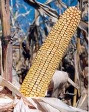 кукуруза порумбень 295 купить в молдове