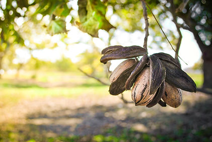 Close up of pecan cluster in an orchard.