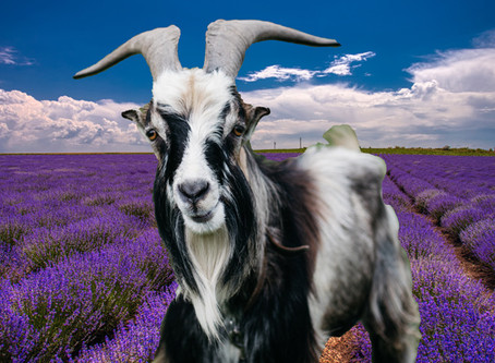 5 Reasons Lavender Goat Milk Soap Is Legendary For Your Skin