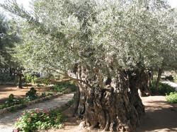 l_GetsemaniUlivi.jpg