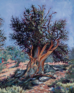 Rocky the Bristlecone Pine