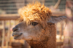 alpaca-animal-animal-photography-1300364