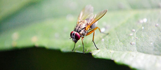 CC0_fruitfly.jpg