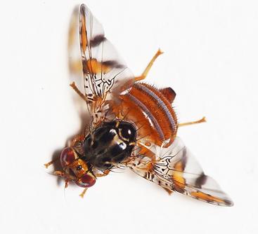 Mediterranean Fruit Fly Flying SpArk