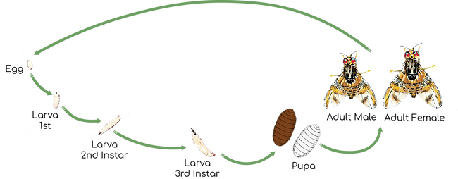 Mediterranean Fruit Fly Life Cycle