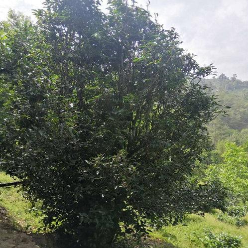 Wild-growing Ancient Tree  Orangic Tea Wholesale,Tea Farmers Wholesale