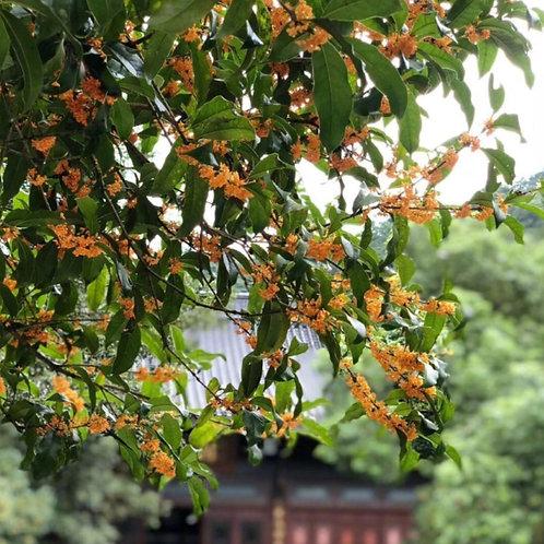 Osmanthus Green Tea/Osmanthus Long Jing Tea, Tea farmer Wholesale
