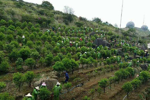 20/B varieties of Fenghuang(Phoenix)Dancong Oolong Tea ,Tea farm Wholesale