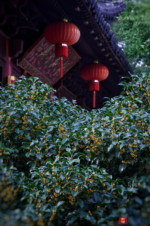 Osmanthus Black Tea/Osmanthus Jiu Qu Hong Mei Tea, Tea farmer Wholesale