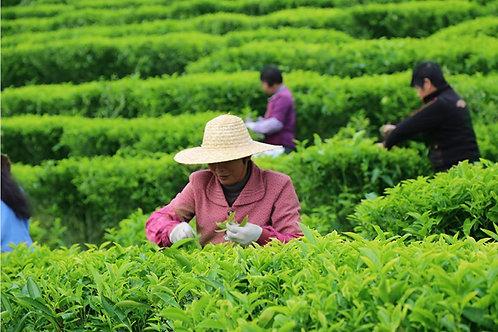 20/D varieties of Fenghuang(Phoenix)Dancong Oolong Tea ,Tea farm Wholesale