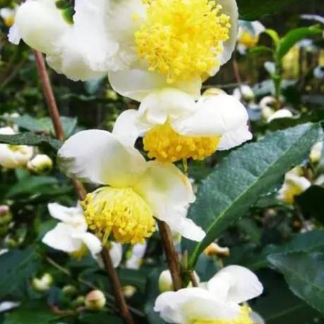 Pu'er Cereal Flower Tea