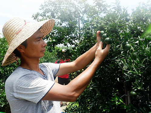 Orange Pu-erh Tea/ Green Mandarin Tea/ Gan Pu Tea , Tea farmer Wholesale