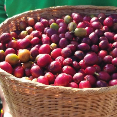 Yunnan Coffee, In China's Tea-Growing Heartland