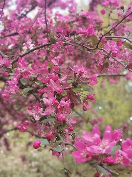 programm_IMG_075321-kirschblüten.jpg