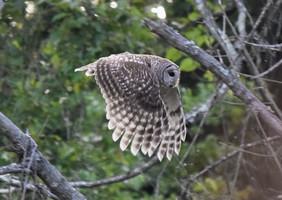 Duval_owl.jpg
