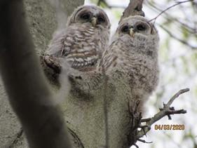 owls1-1.jpg