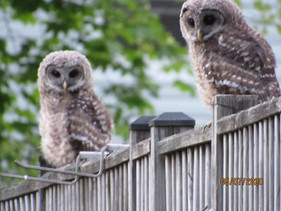 owls4-1.jpg